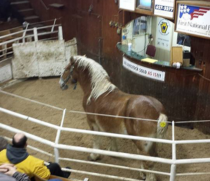 Witness to a HorseBreeder Reuniting on the Auction Floor