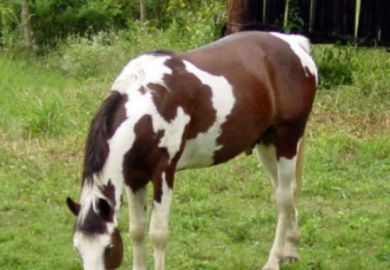 Tennessee Walking Stallion For Sale Equine Now