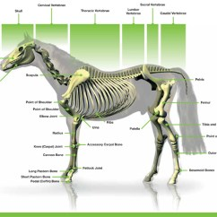 Horse Skeleton Diagram Labeled Starter Motor Solenoid Wiring Downloads Anatomy Charts Dechra Veterinary Products