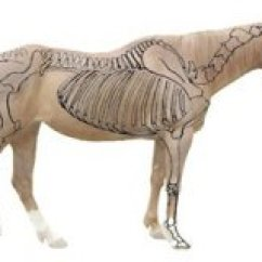 Horse Anatomy Diagram Muscles Sprinkler Valve Parts Basic For Equine Owners 229xnxhorse Jpg Pagespeed Ic Wbtwnxjc6a
