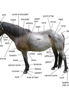 Horse body parts also basic anatomy for equine owners rh equinespot