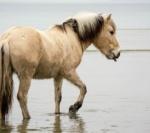 Norweger-Fjordpferd-Wasser