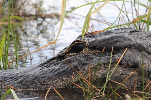 Caimán de los Everglades, Miami