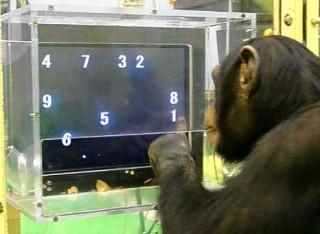 La memoria a lungo termine nelle grande scimmie