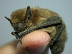 Come attirare pipistrelli in giardino e perchè farlo