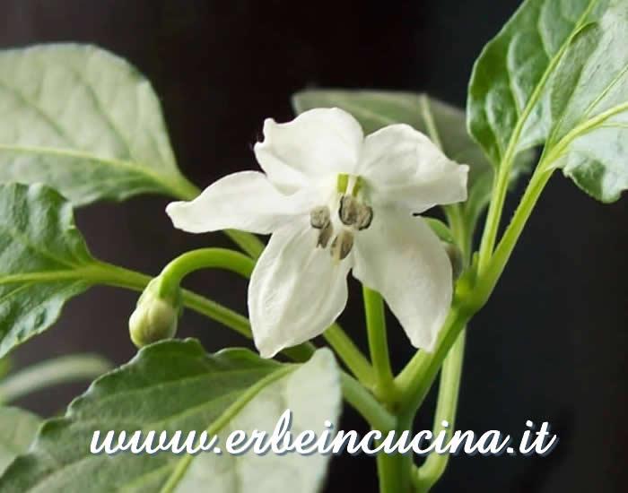 Erbe in cucina  Coltivazione fuori stagione peperoncini fioriti a Gennaio
