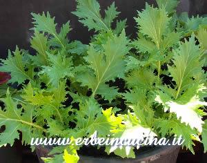 Erbe in cucina  Variet Senape da seme e da foglie