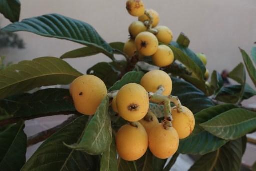 Vruchtboom, Agrigento