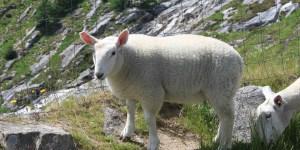 Sheep Story
