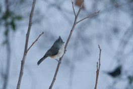 Titmouse on the Persimmon Tree