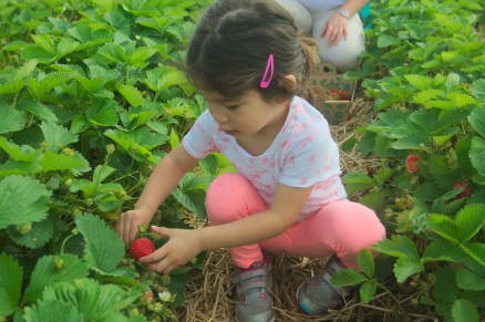 strawberry picking-33