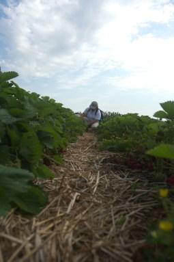 strawberry picking-47
