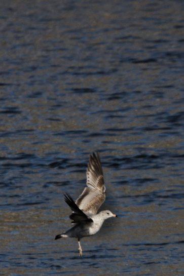 Eagles at Conowingo Dam - 2018-01-01T11:20:36 - 079