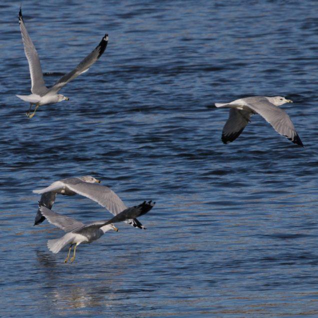 Eagles at Conowingo Dam - 2018-01-01T11:20:40 - 087