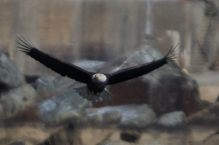 Eagles at Conowingo Dam - 2018-01-01T11:30:08 - 384