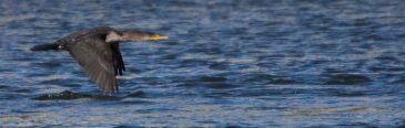 Eagles at Conowingo Dam - 2018-01-01T12:30:58 - 1122