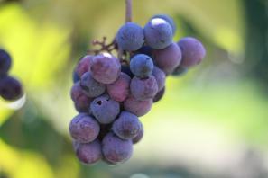 「grape」的圖片搜尋結果
