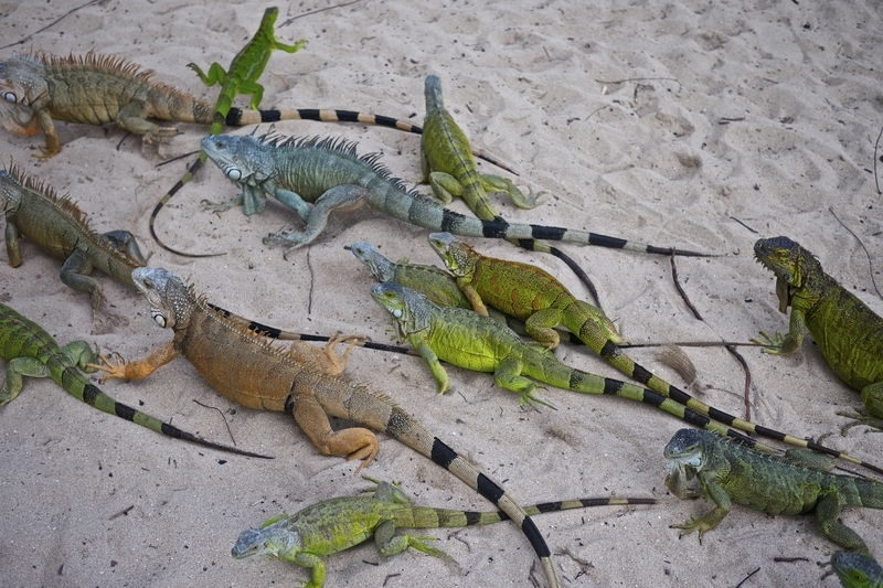 Iguanas at Pinel Island St Martin