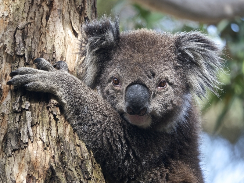 Koala at Kennett River along the Great Ocean Road