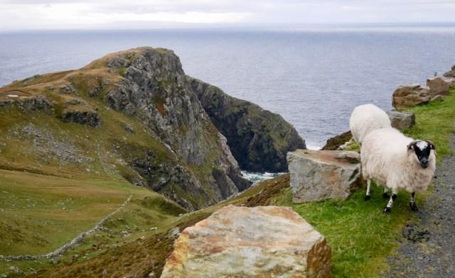 Sheep at the Sleive League Cliffs