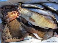 Laos bir ülke değil bir balık aynı zamanda