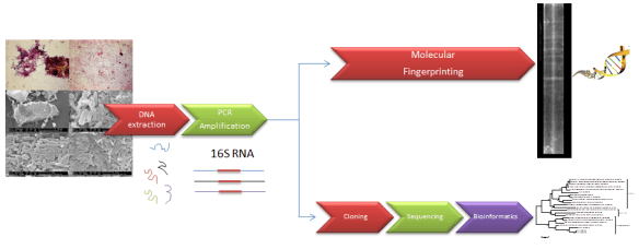 Molecular identification via clone library and TGGE fingerprinting.