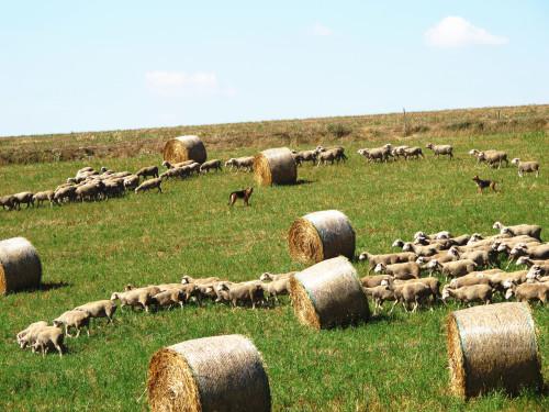 Cani pastori in mezzo a un cerchio di gregge