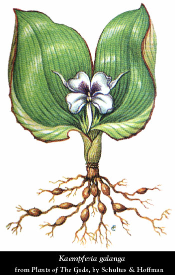 Erowid Herb Vaults  Images  kaempferia galanga