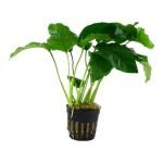 cura della pianta acquatica - consigli - R nel bosco - Anubias 2