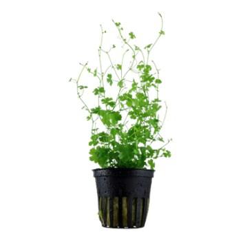 cura della pianta acquatica - consigli - R nel bosco - Hydrocotyle 2