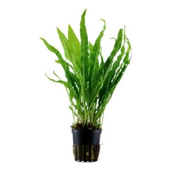 cura della pianta acquatica - consigli - R nel bosco - Microsorum 2