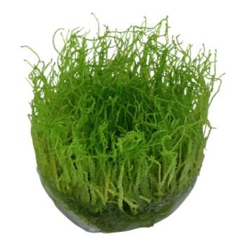 cura della pianta acquatica - consigli - R nel bosco - Taxiphyllum 2