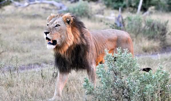 Vigie o diabo - O leão que ruge