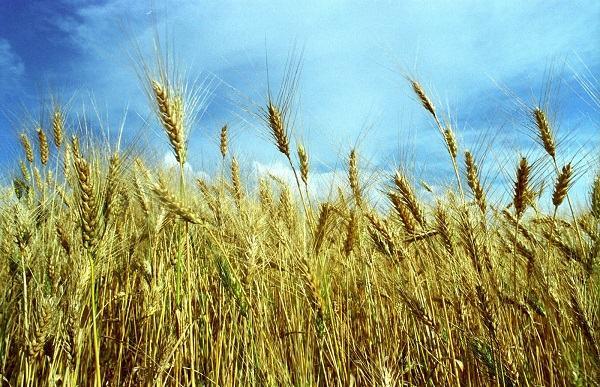 Resultado de imagem para campo trigo e joio