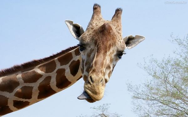 Brincadeira da girafa: Cuidado, irmão, o diabo pode estar agindo em sua vida!