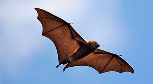 Por que a Bíblia chama morcegos de aves e lebres de ruminantes?