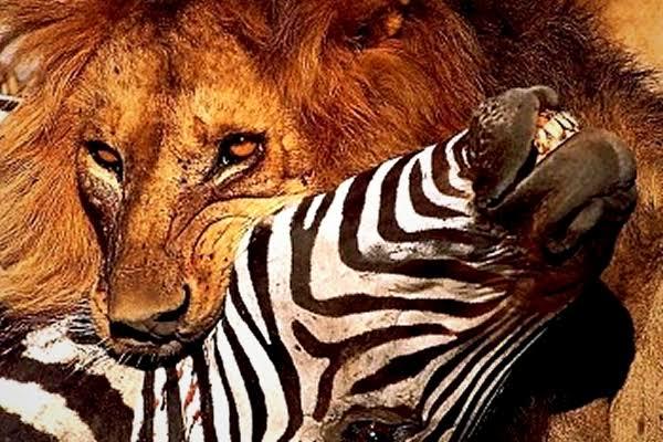 Por que o diabo anda em derredor como leão? Quais os significados disso?