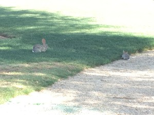 Adorable bunnies at JW Desert Ridge