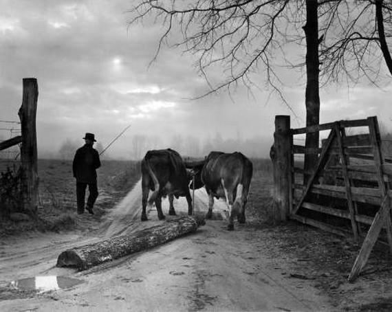 fjs-aabodine-Oxen-1953