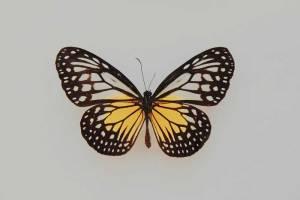 kupu-kupu-emas