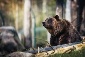 beruang-rusia