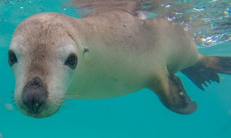 Are you visiting Western Australia and looking for the best Sea Lion tour in Jurien Bay? Look no further than Jurien Bay Oceanic. This fantastic company operates eco-friendly sea lion experience tours where you can swim with sea lions and learn more about them. Click here to find out more. #sealionsjurienbay #westernaustralia #backpackingaustralia