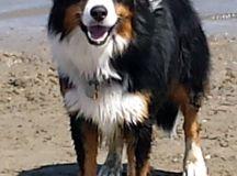 Beg. Guide-Herding Dogs   English Shepherd Club
