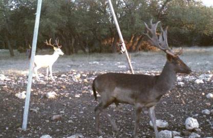Fallow Doe Hunting at Texas Game Ranches