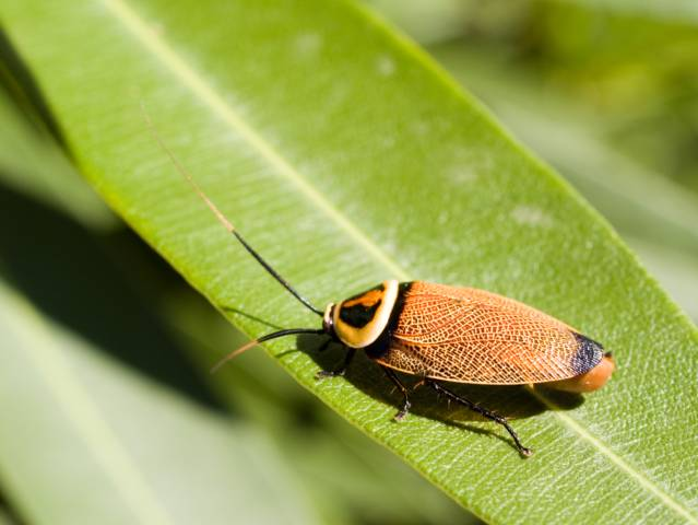 Cucaracha Periplaneta americana  Escuelapedia  Recursos Educativos