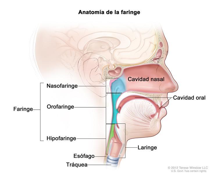 Lujo Anatomía Aplicada De Laringe Regalo - Anatomía de Las ...