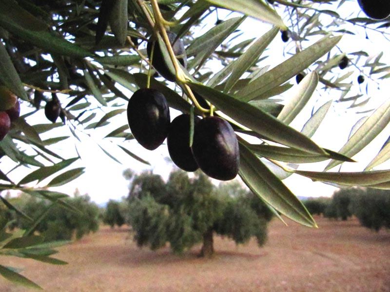 Variedades de aceitunas subespecies de olivos cultivables