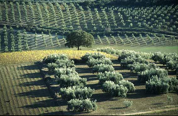 Sistemas de cultivo del olivo tradicional intensivo y