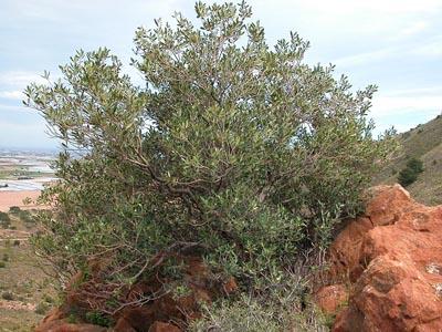El Acebuche el olivo silvestre  Esencia de Olivo