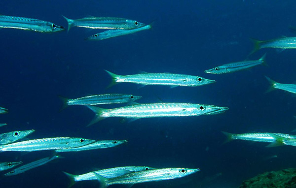 scuba-diving-open-water-diver-pulau-tioman-salang-indah-shamphotography-pulau-soyak-barracuda